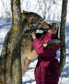 "butterflyofpleasurenpain: "" wolveswolves: "" Source "" My god that's a big freaking wolf.. """
