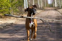 Boxer: Hey, look what I found! Now we can play stick. Boxer And Baby, Boxer Love, I Love Dogs, Cute Dogs, Le Castor, Boxer Dog Puppy, Dog Rules, Dogs And Puppies, Doggies