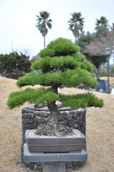 pine bonsai by stone sculpture, via Flickr