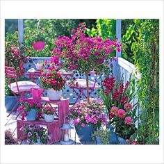 GAP Photos - Garden & Plant Picture Library - Bougainvillea, Gladiolus, Petunia, Dahlia, Vinca Pazifica 'Burgundy', Argyranthemum and Thymus 'Silver Queen' in pots, steped etagere, and garden furniture on balcony. - GAP Photos - Specialising in horticultural photography