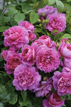 Princess Anne (Auskitchen) David Austin rose  Another pink bloom that grabbed my attention, these roses will provide beauty in your summer garden year after year.