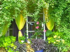 ways to add drama to your garden. Curtain Call, Buffalo, Gardens, Curtains, Fruit, Plants, Insulated Curtains, Blinds, The Fruit