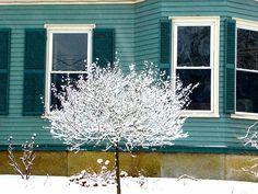 Lilac Tree on front lawn of Kismet Inn looks beautiful in snow.
