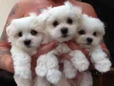 Spain Geous White Maltese Puppies For Sale