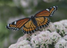 Monarch on flowers. Photo by Judy Mitchell, Lockwood