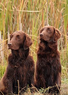Flat-coated retrievers. I have my suspicions that rebel is at least partly flat coated rather than lab