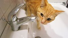 Ginger cat drinking water from the tap