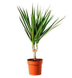 10 Plantas Purificadoras de Aire para eliminar Toxinas - La Dracaena Marginata es una planta bonita de hojas largas y afiladas que necesita contacto con la luz y elimina los químicos en el aire de: Formaldehído Xileno Tricloroetileno