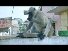Black Monkey Eating chickpeas/chana at Mohankheda Jain Tirth. Monkey Eating chana chickpeas, roasted grams at Mohankheda Jain Tirth Vi. Rabbi, Monkey, Eat, Youtube, Black, Jumpsuit, Black People, Monkeys, Youtubers