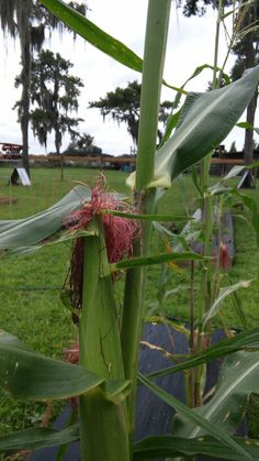 Kristi's corn