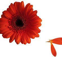 Red Flower Dhalia by elainemarie999