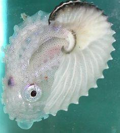 Image result for Argonaut Octopus, a.k.a. Paper Nautilus