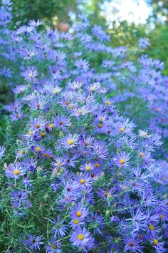 Symphyotrichum oblongifolium 'October Skies' I took this photo in partial shade, but did nothing to enhance it.