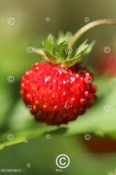 Wild strawberry, Lesní jahoda, Wild Strawberries, Fresh Fruit, Strawberry, Cooking, Food, Kitchen, Essen, Strawberry Fruit, Meals