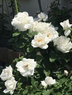真っ白なバラは、それだけで魅力がある。陽を浴びて輝く