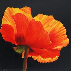 Mohnblume im Gegenlicht - Joachim Bereuter   Blumen