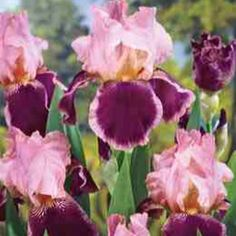 Pass The Wine Bearded Iris