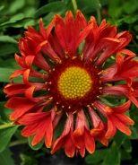 El Fuego Blanket Flower (Gaillardia 'El Fuego' P.P. 21,409)