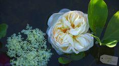 Rose und Hollunder im Gartenteich