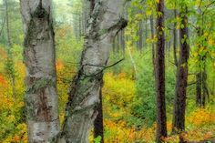 BIRCH TREE AND EARLY FALL COLORS. by Robert Meyer