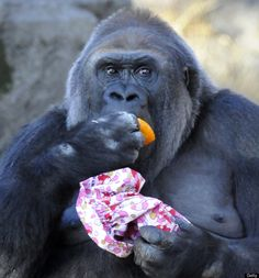 A Western Lowland Gorilla eats an orange while holding a Christmas pouch at the Ueno Zoo in Tokyo on December 25, 2010. The Gorillas received Christmas presents from the zoo keepers to celebrate the festivities. AFP PHOTO / TOSHIFUMI KITAMURA