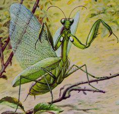 Praying Mantis Bug Entomology Chart