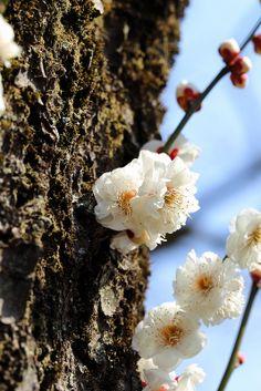 Prunus mume(Ume) 'Gekkyude'「月宮殿」Beautiful side by side