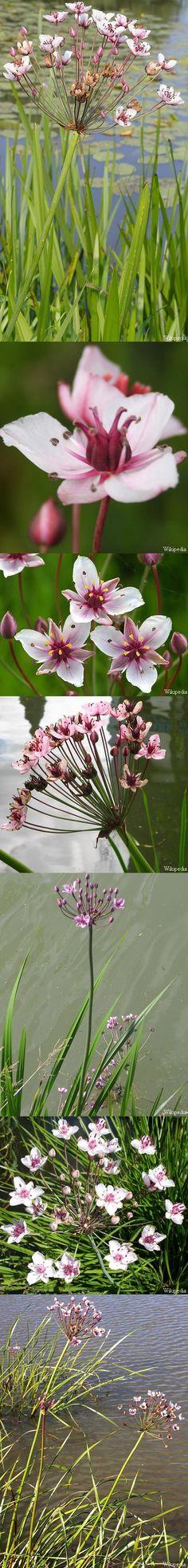Zwanenbloem - Butomus umbellatus Live Aquarium Plants, Pond Plants, Planted Aquarium, Garden Cabins, Farm Gardens, Cabin Ideas, Flowers, Design, Plants