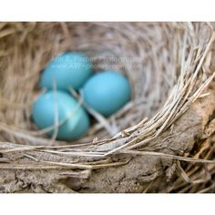 Blue Eggs in Robin's Nest Photo, Fine Art Photography, Nature... (26 CAD) ❤ liked on Polyvore featuring home, home decor, holiday decorations, blue home accessories, easter home decor, spring home decor and blue home decor