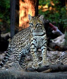 Leopard of paradise - Pixdaus