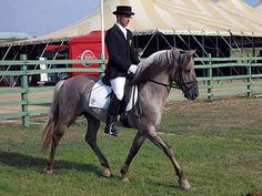 Sorraia  © E. Urrila. The Sorraia pony originates from Portugal. It is an ancient breed that might have had influenced to the Andalucian.