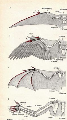 Bird Wings Anatomy Search Ideas For 2019 Wing Anatomy, Anatomy Drawing, Bat Anatomy, Anatomy Reference, Drawing Reference, Drawing Techniques, Drawing Tips, Art Tutorials, Drawing Tutorials