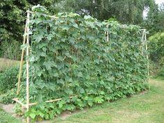 Les haricots à rames sont un plaisir au potager notamment dans les petits jardins car ils allient production et gain de place. Découvrons ces haricots.