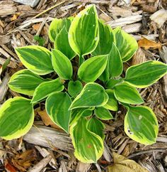 Hosta 'Hope' a great miniature hosta; Blooms - purple, Moderate growth rate ***
