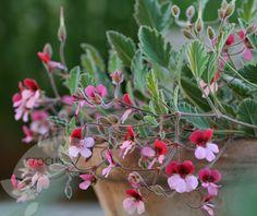 Buy three species pelargoniums Pelargonium 'Renate Parsley ...