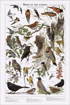 Birds of the Garden: Summer Identification Chart                                                                                                                                                      More