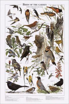 Birds of the Garden: Summer Identification Chart                                                                                                                                                      More