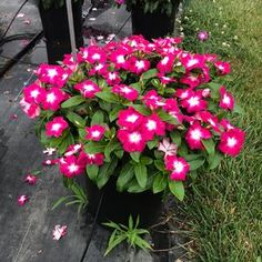 Check out the deal on Vinca Cora XDR Magenta Halo 10 seeds at Hazzard's Home Gardener White Eyes, Large White, Magenta, Halo, Seeds, Bloom, Flowers, Plants, Check