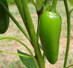 Jalapeno Peppers are one of best container garden vegetables