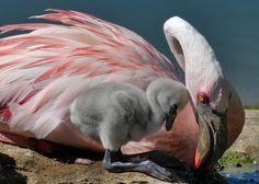 Little flamingo rubs up to Mum Flamingo Painting, Flamingo Art, Pink Flamingos, Nature Animals, Animals And Pets, Baby Animals, Cute Animals, Pink Bird, Photos Of The Week
