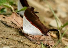 Marpesia zerynthia, the waiter daggerwing, is a species of butterfly in the family Nymphalidae that occurs in, and somewhat north and south of Mesoamerica. —Wikipedia