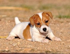 Puddin line that reaches max height of inches. Cute Little Puppies, Cute Puppies, Cute Dogs, Dogs And Puppies, Jack Russell Puppies, Jack Russell Terrier, Rat Terriers, Fox Terrier, Baby Animals