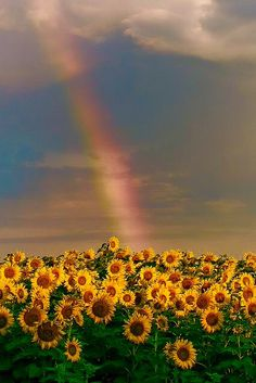 Rainbow over sunflower field. Rainbow over sunflower field. Aesthetic Backgrounds, Aesthetic Iphone Wallpaper, Aesthetic Wallpapers, Beautiful Flowers, Beautiful Places, Exotic Flowers, Beautiful Pictures, Sunflower Pictures, Sunflower Wallpaper