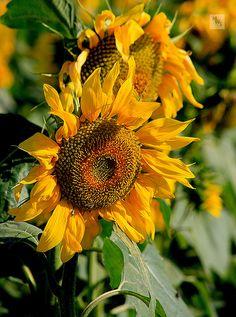 Sunflower on farm, Andalucia, Spain ~ GR2Food