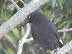 An Australian Currawong