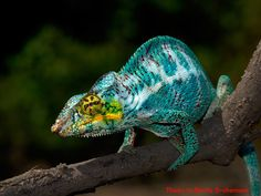 WC Nosy Faly Panther Chameleon. wow.