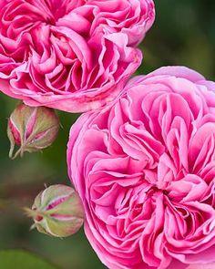Cabbage Rose