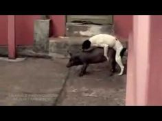 Dog Humping with Pig funny animal - http://www.doggietalent.com/posts/dog-humping-with-pig-funny-animal/