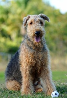 Learn all about the Airdale Terrier dog breed!