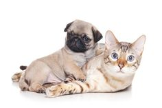 Cute Pug Puppy & Kitten
